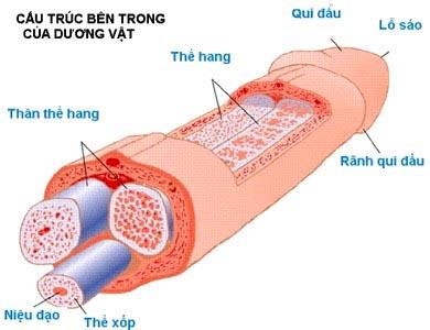 Kích thước dương vật đàn ông, chiều dài dương vật đàn ông Việt Nam