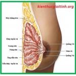 Cấu tạo ngực phụ nữ và sự phát triển ngực, cau tao nguc phu nu