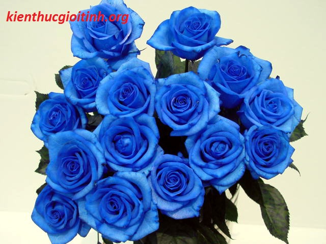 Hoa hồng màu xanh, cau chuyen tinh yeu dep