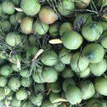 Nên mua gì về làm quà khi du lịch Sầm Sơn? Dừa tươi